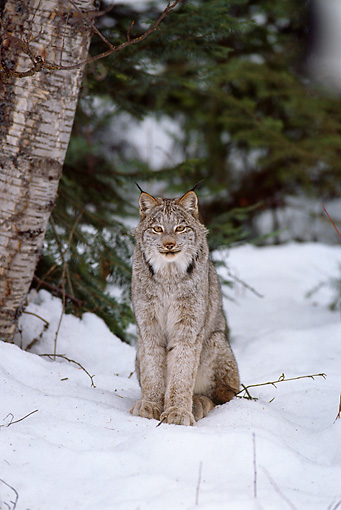 LYX 01 TL0008 01 © Kimball Stock Portrait Of Lynx Sitting On Snow Facing Camera Woods Background