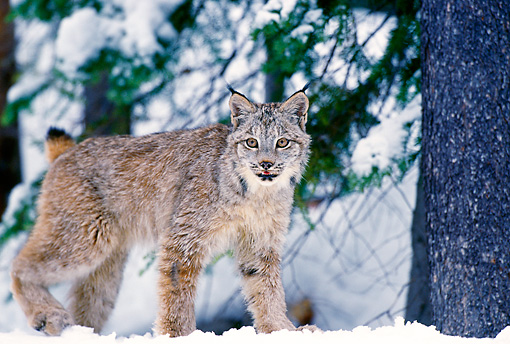 LYX 01 TL0009 01 © Kimball Stock Portrait Of Lynx Walking On Snow Facing Camera Woods Background