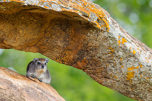 MAM 02 KH0001 01 © Kimball Stock Yellow-Spotted Rock Hyrax (Bush Hyrax) Resting In Rock Formation In Kenya