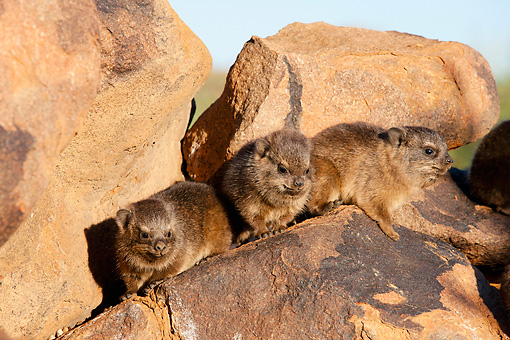 MAM 02 MH0003 01 © Kimball Stock Three Young Rock Hyraxes Sitting On Rocks In South Africa