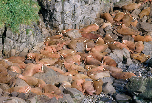 MAM 03 GL0001 01 © Kimball Stock Walruses Sunning On Rocky Beach