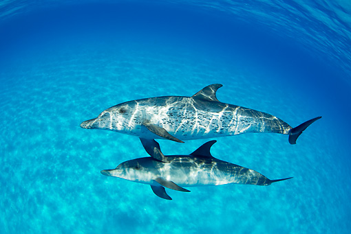 MAM 03 JM0097 01 © Kimball Stock Atlantic Spotted Dolphins Swimming In Ocean Bahamas