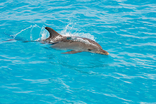 MAM 03 JM0107 01 © Kimball Stock Atlantic Spotted Dolphin Swimming At Ocean Surface Bahamas