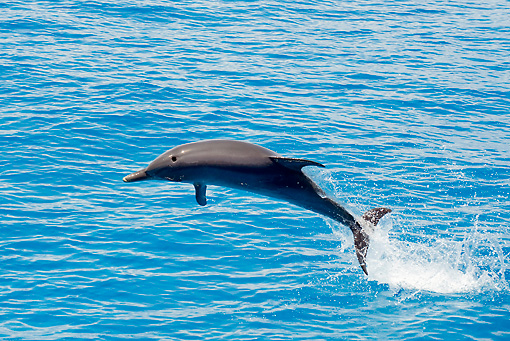 MAM 03 JM0108 01 © Kimball Stock Atlantic Spotted Dolphin Leaping Out Of Ocean Bahamas