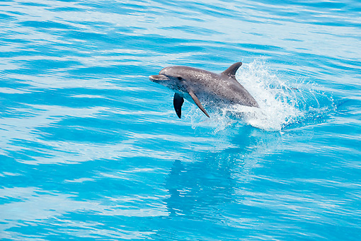 MAM 03 JM0110 01 © Kimball Stock Atlantic Spotted Dolphin Leaping Out Of Ocean Bahamas