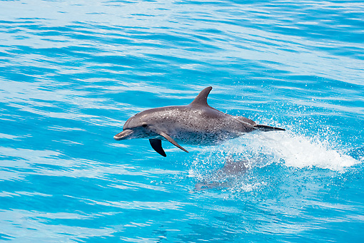 MAM 03 JM0111 01 © Kimball Stock Atlantic Spotted Dolphin Leaping Out Of Ocean Bahamas