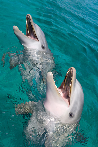 MAM 03 KH0041 01 © Kimball Stock Bottlenose Dolphins Sticking Heads Above Surface Of Water