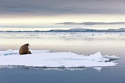 MAM 03 KH0042 01 © Kimball Stock Walrus Resting On Sea Ice Norway