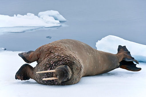 MAM 03 KH0043 01 © Kimball Stock Walrus Resting On Piece Of Floating Ice Norway