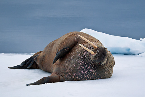 MAM 03 KH0044 01 © Kimball Stock Walrus Resting On Piece Of Floating Ice Norway