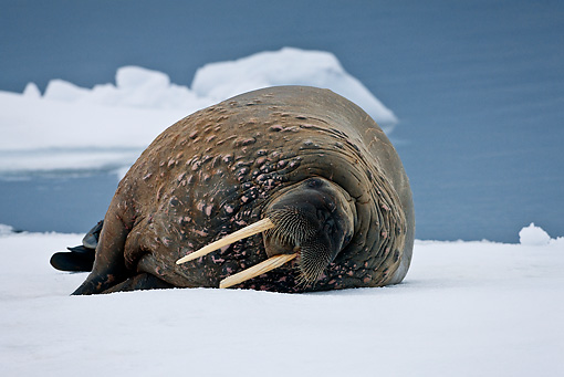 MAM 03 KH0045 01 © Kimball Stock Walrus Resting On Piece Of Floating Ice Norway