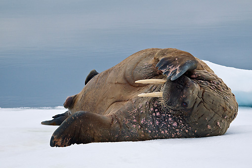 MAM 03 KH0046 01 © Kimball Stock Walrus Resting On Piece Of Floating Ice Norway