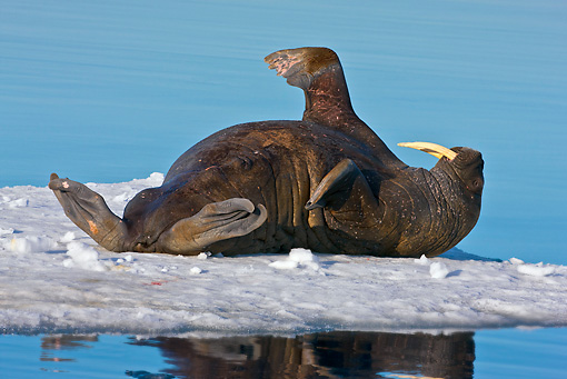 MAM 03 KH0051 01 © Kimball Stock Walrus Resting On Ice Svalbard