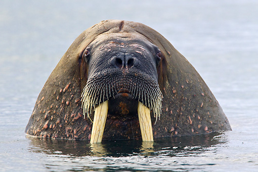 MAM 03 KH0052 01 © Kimball Stock Close-Up Of Walrus With Head Above Water Svalbard
