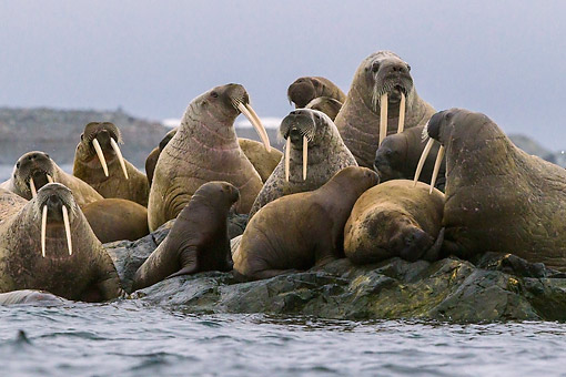 MAM 03 KH0053 01 © Kimball Stock Walruses Grouped On Rocky Island To Protect From Polar Bear Attacks Svalbard