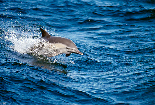 MAM 03 MC0001 01 © Kimball Stock Common Dolphin Riding Waves In Sea Of Cortez Mexico