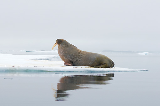 MAM 03 SK0011 01 © Kimball Stock Profile Of Walrus Bull Sitting On Sea Ice