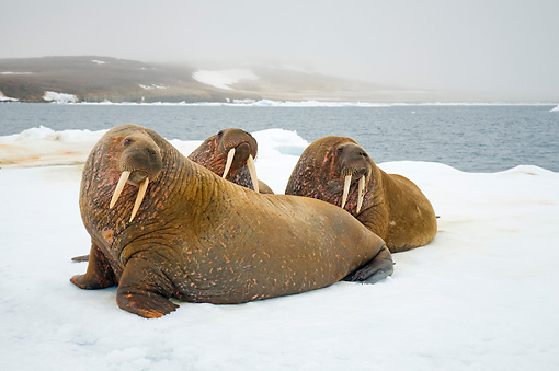 MAM 03 SK0013 01 © Kimball Stock Three Walrus Bulls Sitting On Sea Ice