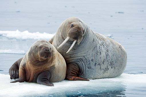 MAM 03 SK0015 01 © Kimball Stock Walrus Cow And Calf Resting On Pack Ice Along Northern Coast Of Spitsbergen, Svalbard