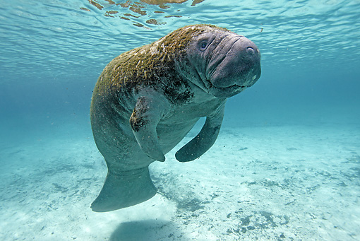 MAM 03 WF0002 01 © Kimball Stock West Indian Manatee Swimming In Clear Water Florida