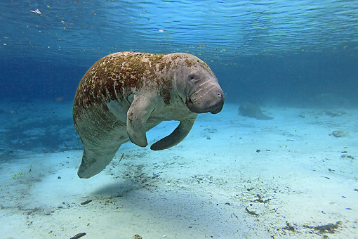 MAM 03 WF0003 01 © Kimball Stock West Indian Manatee Swimming In Clear Water Florida