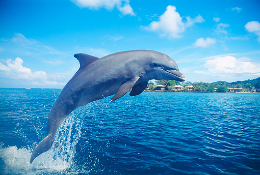 MAM 03 JM0020 01 © Kimball Stock Bottlenose Dolphin Jumping From Water Roatan, Honduras