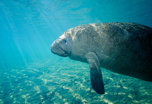 MAM 03 JM0040 01 © Kimball Stock West Indian Manatee Swimming Florida