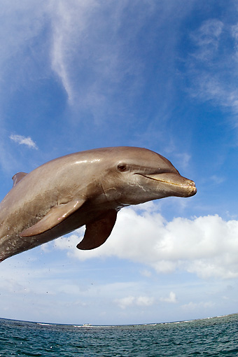 MAM 03 JM0042 01 © Kimball Stock Bottlenose Dolphin Leaping Out Of Water Caribbean Sea Honduras