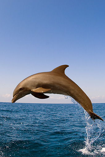 MAM 03 JM0045 01 © Kimball Stock Bottlenose Dolphin Leaping Out Of Water Caribbean Sea Honduras