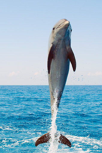 MAM 03 JM0046 01 © Kimball Stock Bottlenose Dolphin Leaping Out Of Water Caribbean Sea Honduras