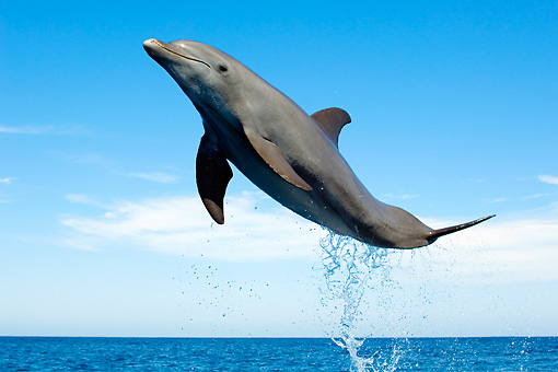 MAM 03 JM0050 01 © Kimball Stock Bottlenose Dolphin Leaping Out Of Water Caribbean Sea Honduras