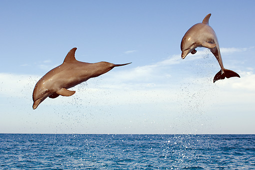 MAM 03 JM0053 02 © Kimball Stock Two Bottlenose Dolphins Leaping Out Of Water Caribbean Sea Honduras