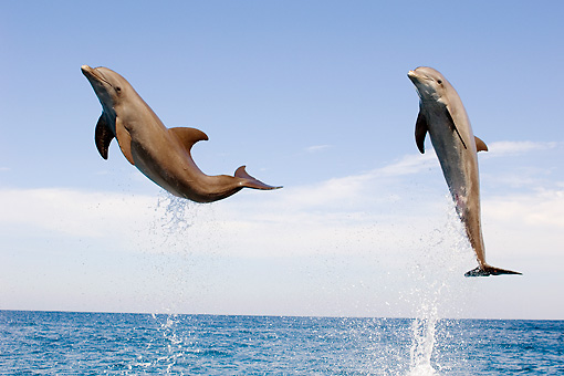 MAM 03 JM0053 03 © Kimball Stock Two Bottlenose Dolphins Leaping Out Of Water Caribbean Sea Honduras
