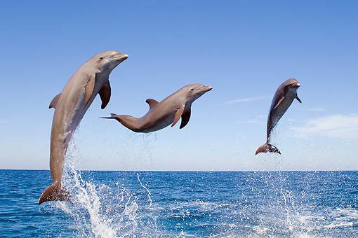 MAM 03 JM0054 01 © Kimball Stock Three Bottlenose Dolphins Leaping Out Of Water Caribbean Sea Honduras