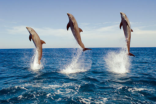 MAM 03 JM0055 01 © Kimball Stock Three Bottlenose Dolphins Leaping Out Of Water Caribbean Sea Honduras