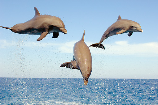 MAM 03 JM0056 01 © Kimball Stock Three Bottlenose Dolphins Leaping Out Of Water Caribbean Sea Honduras