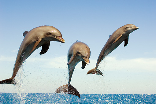 MAM 03 JM0056 02 © Kimball Stock Three Bottlenose Dolphins Leaping Out Of Water Caribbean Sea Honduras