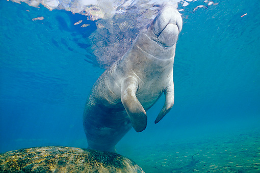 MAM 03 JM0068 01 © Kimball Stock West Indian Manatee Swimming Florida