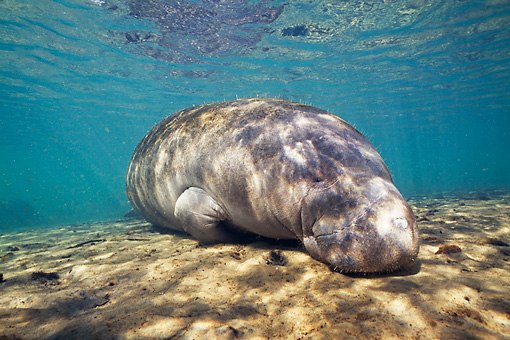 MAM 03 JM0072 01 © Kimball Stock West Indian Manatee Grazing In Shallows Florida