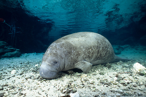 MAM 03 JM0073 01 © Kimball Stock West Indian Manatee Grazing In Shallows Florida