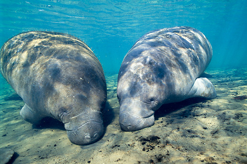 MAM 03 JM0074 01 © Kimball Stock Two West Indian Manatee Grazing In Shallows Florida