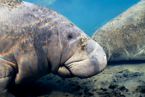MAM 03 JM0077 01 © Kimball Stock Shoulder Shot Of West Indian Manatee Swimming In Shallows Florida