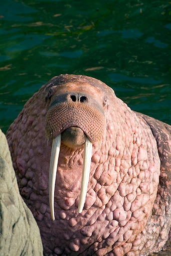 MAM 03 JM0082 01 © Kimball Stock Head Shot Of Pacific Walrus Sitting By Water On Rock