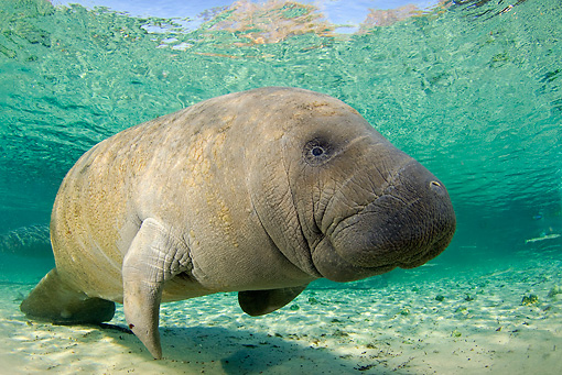 MAM 03 JM0085 01 © Kimball Stock West Indian Manatee Swimming In Shallows Florida