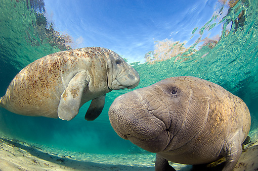 MAM 03 JM0089 01 © Kimball Stock Two West Indian Manatees Swimming In Shallows Florida