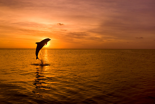 MAM 03 KH0002 01 © Kimball Stock Silhouette Of Bottlenose Dolphin Leaping Out Of Ocean At Sunset