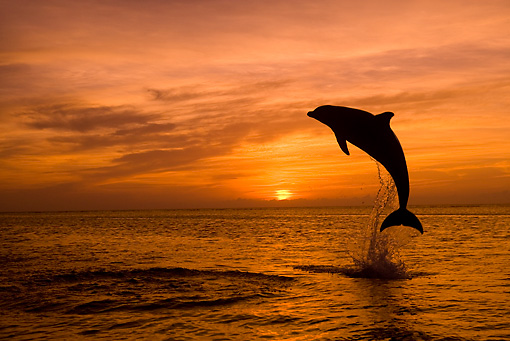 MAM 03 KH0003 01 © Kimball Stock Silhouette Of Bottlenose Dolphin Leaping Out Of Ocean At Sunset