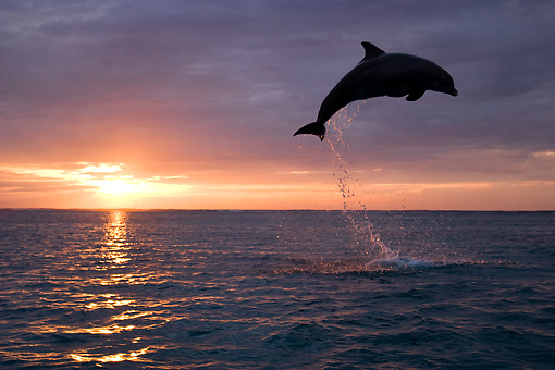 MAM 03 KH0004 01 © Kimball Stock Silhouette Of Bottlenose Dolphin Leaping Out Of Ocean At Sunset