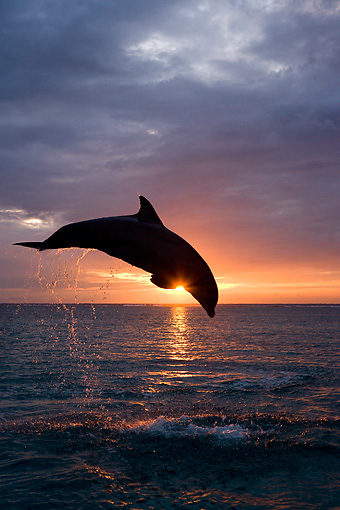 MAM 03 KH0005 01 © Kimball Stock Silhouette Of Bottlenose Dolphin Leaping Out Of Ocean At Sunset