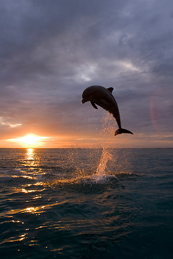 MAM 03 KH0006 01 © Kimball Stock Silhouette Of Bottlenose Dolphin Leaping Out Of Ocean At Sunset